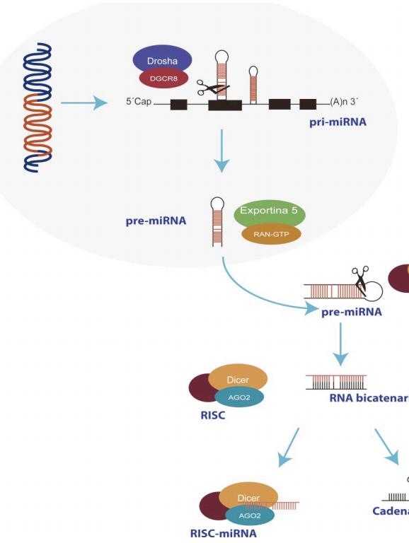 Biogénesis de miRNAs